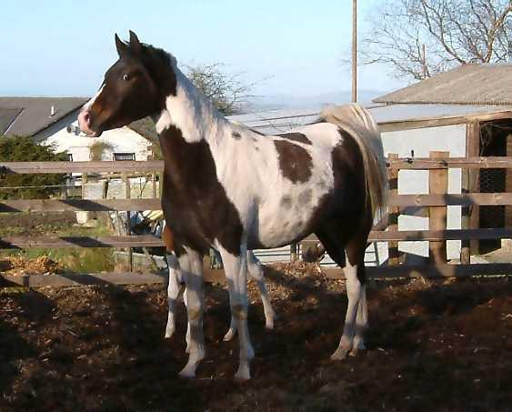 Pintabians Cremello And Palomino Welsh Cobs Pinto Arabians